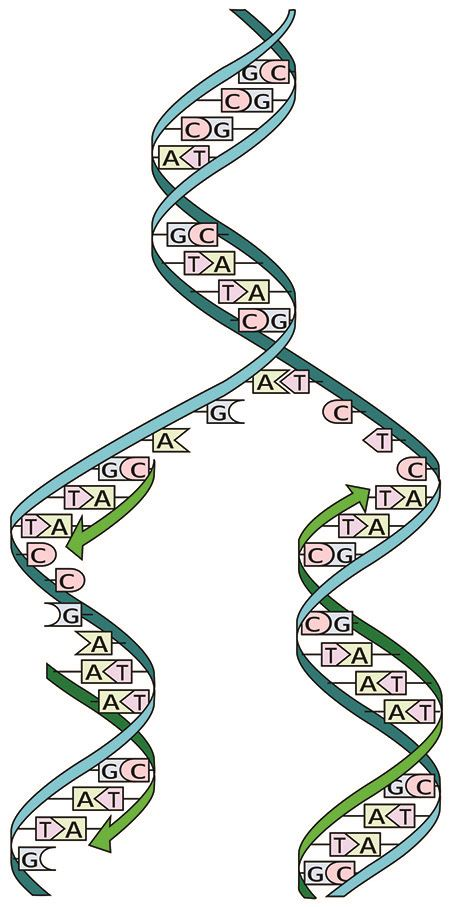 Dual stranded DNA