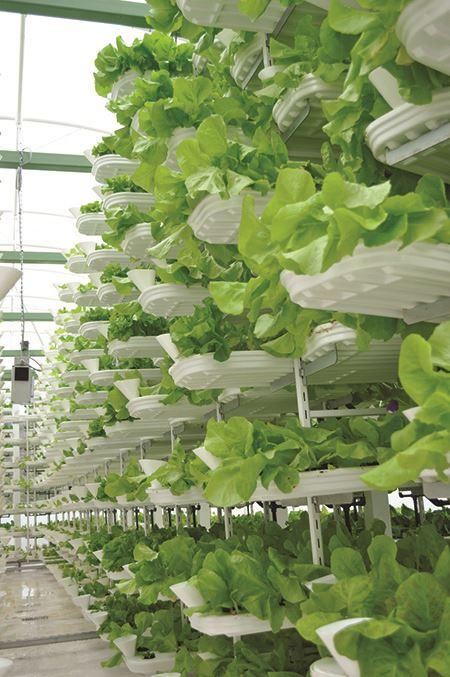 Lettuce growing on vertical farm